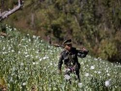Мьянма повстанцы уничтожают маковые посевы