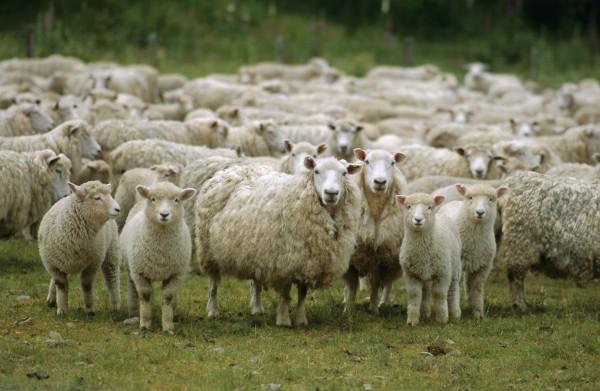кража овец